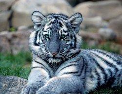 Blue_Tiger